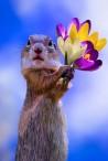 forårsbillede med krokus